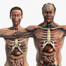 3s Max Male and Female Anatomy Complete Pack (Textured)